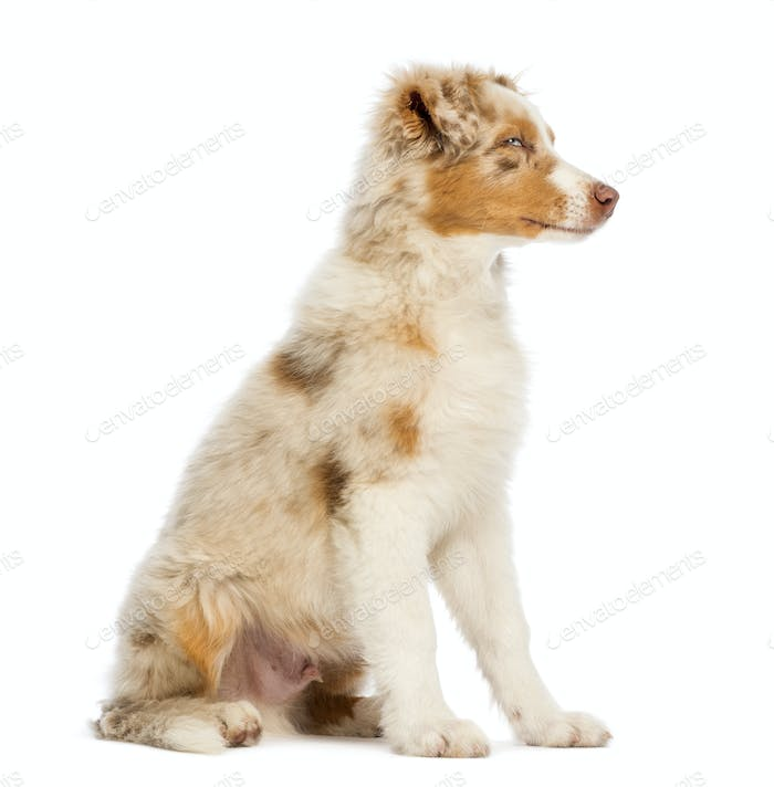 Australian Shepherd puppy, 3.5 months old, sitting and looking away against white background