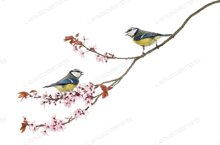 Two Blue Tits whistling on a flowering branch, Cyanistes caeruleus, isolated on white