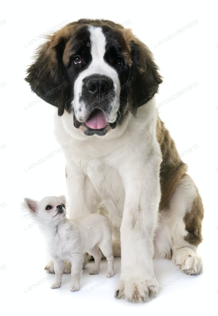 young saint bernard and chihuahua