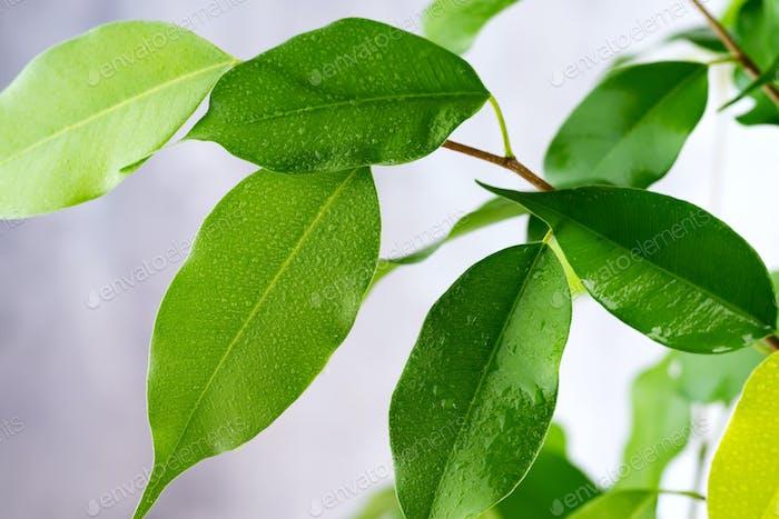 Schönes grünes Blatt mit Wassertropfen auf grauem Hintergrund