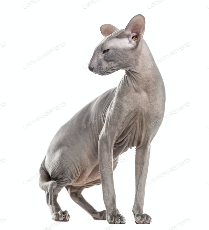 Peterbald, standing up and looking away, isolated on white