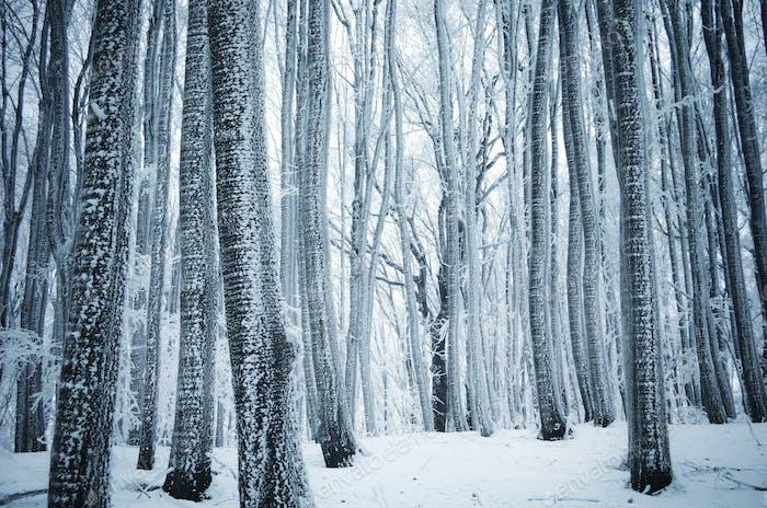 Frozen winter wonderland forest