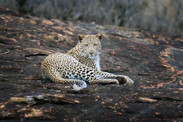 Nah-up-Leopard im Nationalpark von Kenia