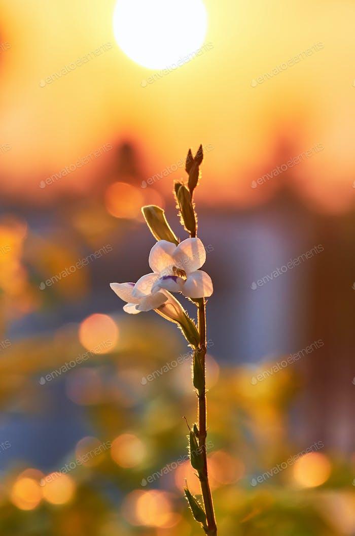 Kleine weiße Blume im goldenen Licht des Abends