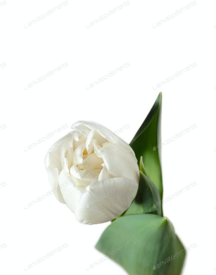 Close up of beautiful tulip isolated on white background