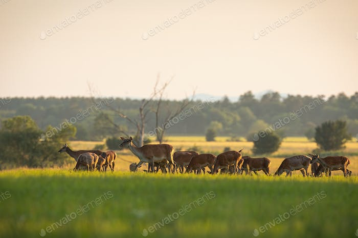 Numerous herd of red deer hinds grazing on fresh green grass in spring at sunset