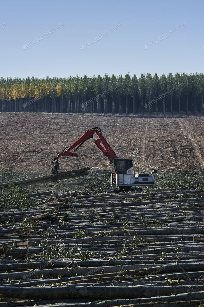 A mechanised grabber sorting felled poplar trees for timber, on a plantation.
