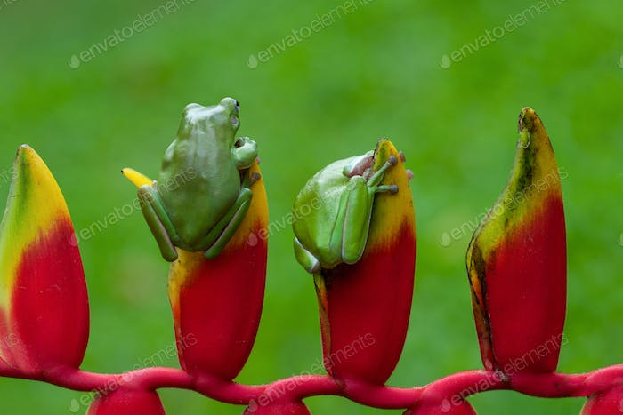 Tree Frogs sitting on a Heliconia