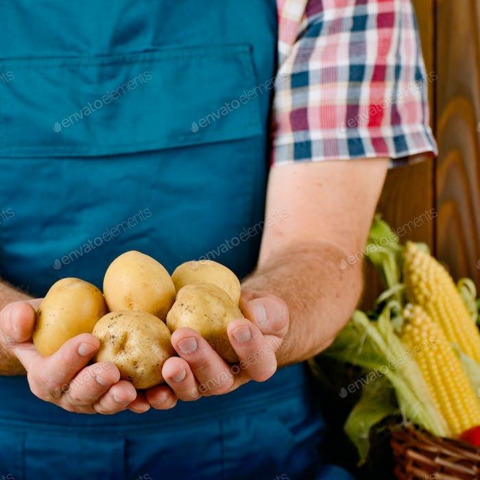Farmer hold fresh organic potatoes in his hands. Vegetable harve