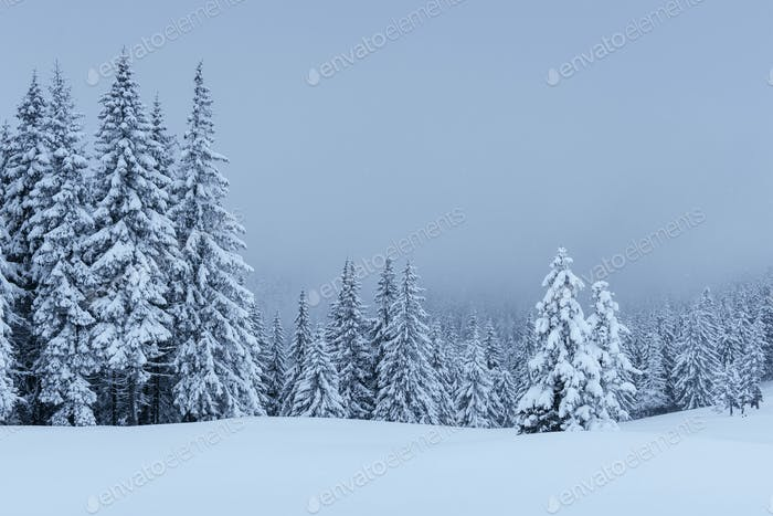 A calm winter scene. Firs covered with snow stand in a fog. Beautiful scenery on the edge of the