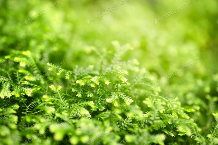 Close-up selaginella martensii plant. Green background