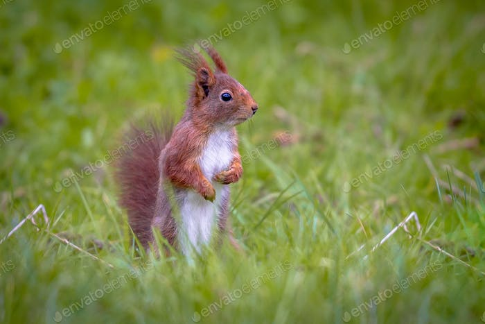 Red squirrel looking for danger