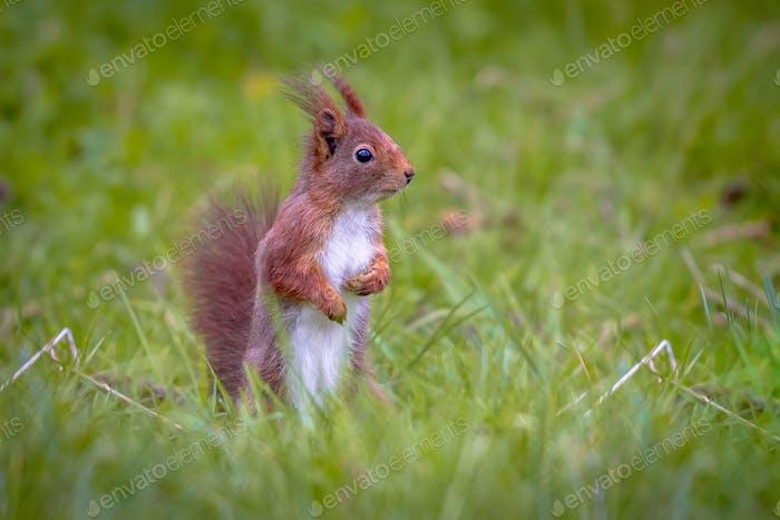 Rotes Eichhörnchen sucht Gefahr