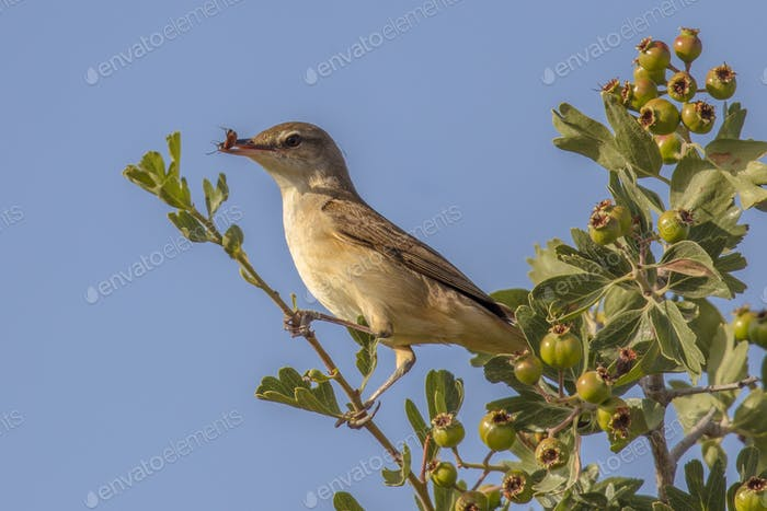 Olive-tree warbler with insect prey