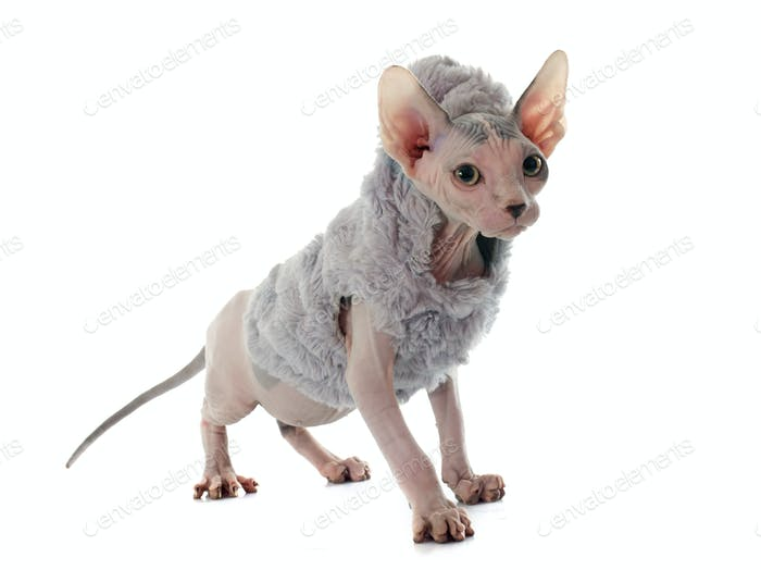 dressed Sphynx Hairless Cat
