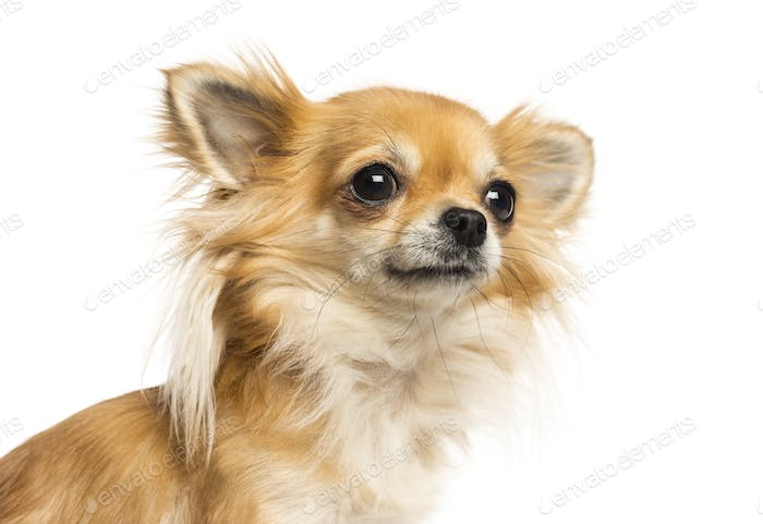 Close-up of a Chihuahua looking away, isolated on white