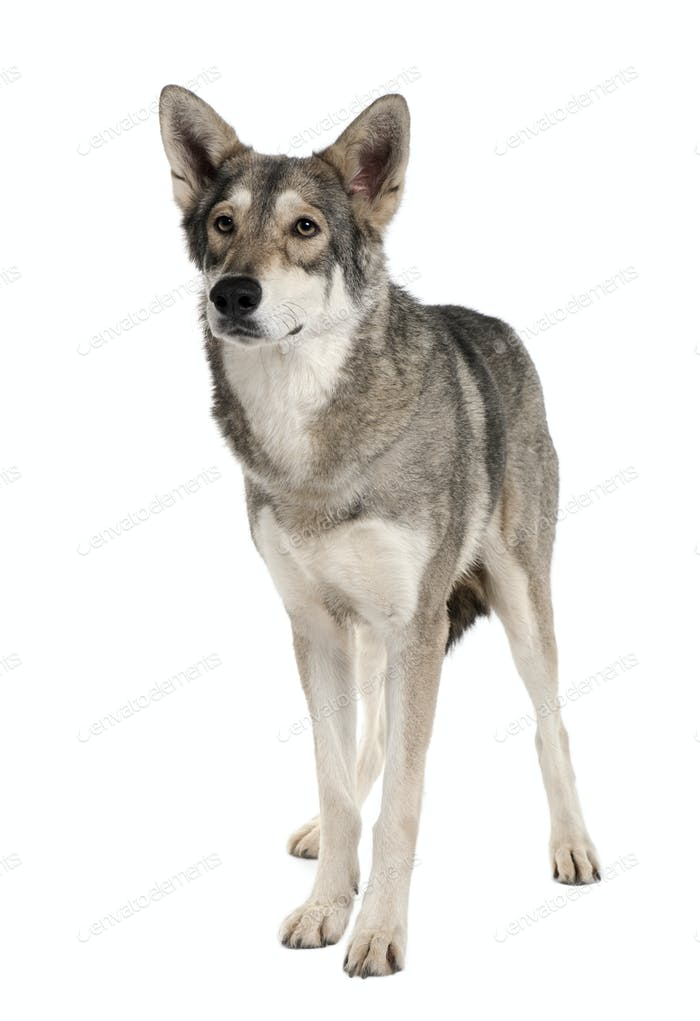 Saarlooswolf dog, 3 years old, standing in front of white background