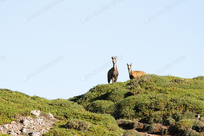 Couple of wild chamois in Somiedo, Asturias