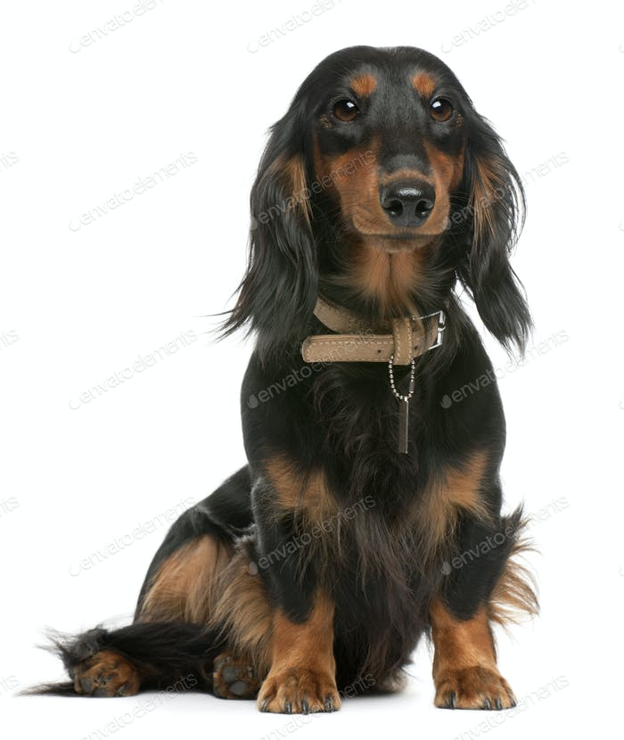 Dachshund, 1 year old, sitting in front of white background