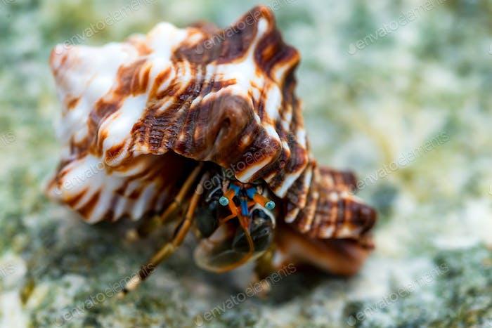 Close-up of hermit crab Calcinus laevimanus