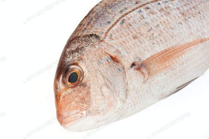 couch sea bream closeup
