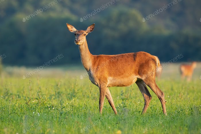 Side view of tender red deer hind standing on a hay field in summer at sunrise