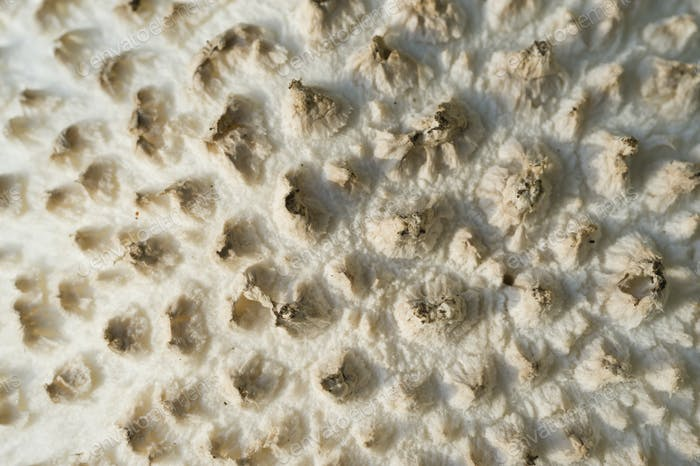 Amanita vittadinii mushroom