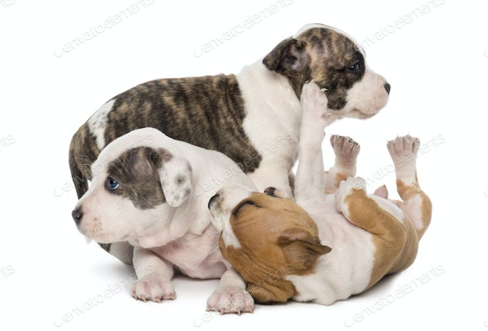 American Staffordshire Terrier Puppies playing, 6 weeks old, against white background
