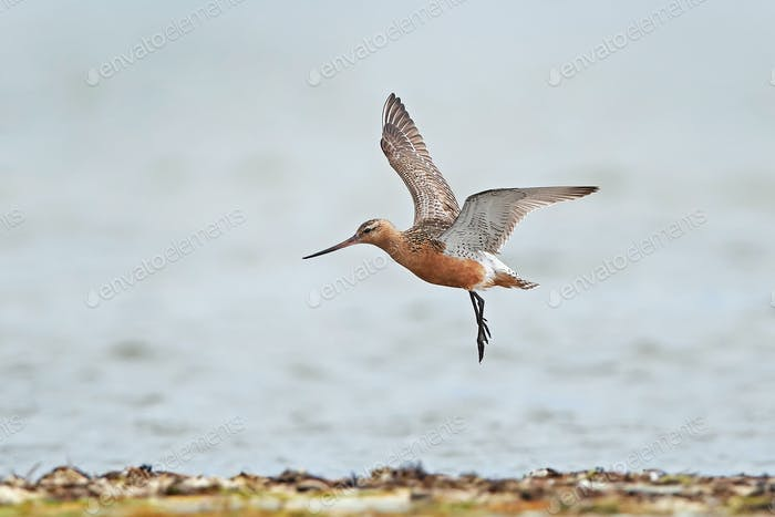Stehschwanzgodwit (Limosa lapponica)