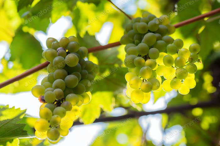White grape and sunrays