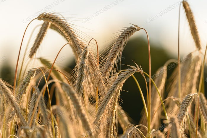 Rye crops on a field. Agriculture
