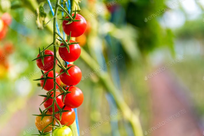 Close-up of cherry tomatoes cultivation in a greenhouse