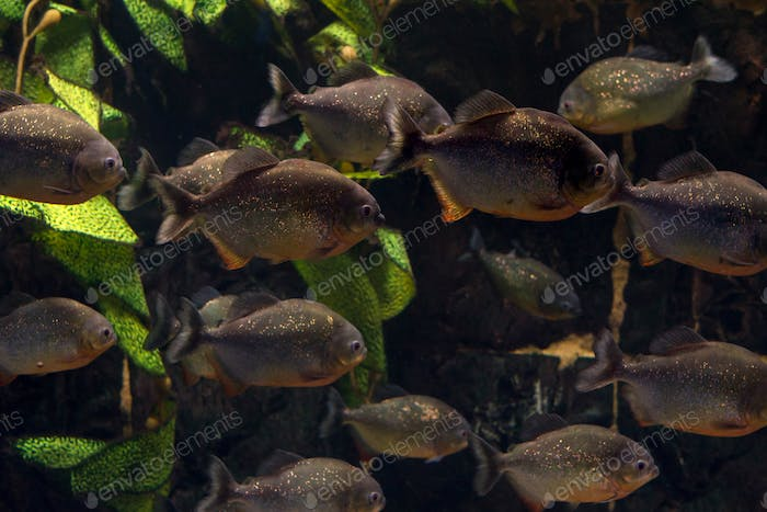 Group of piranhas floating in an aquarium