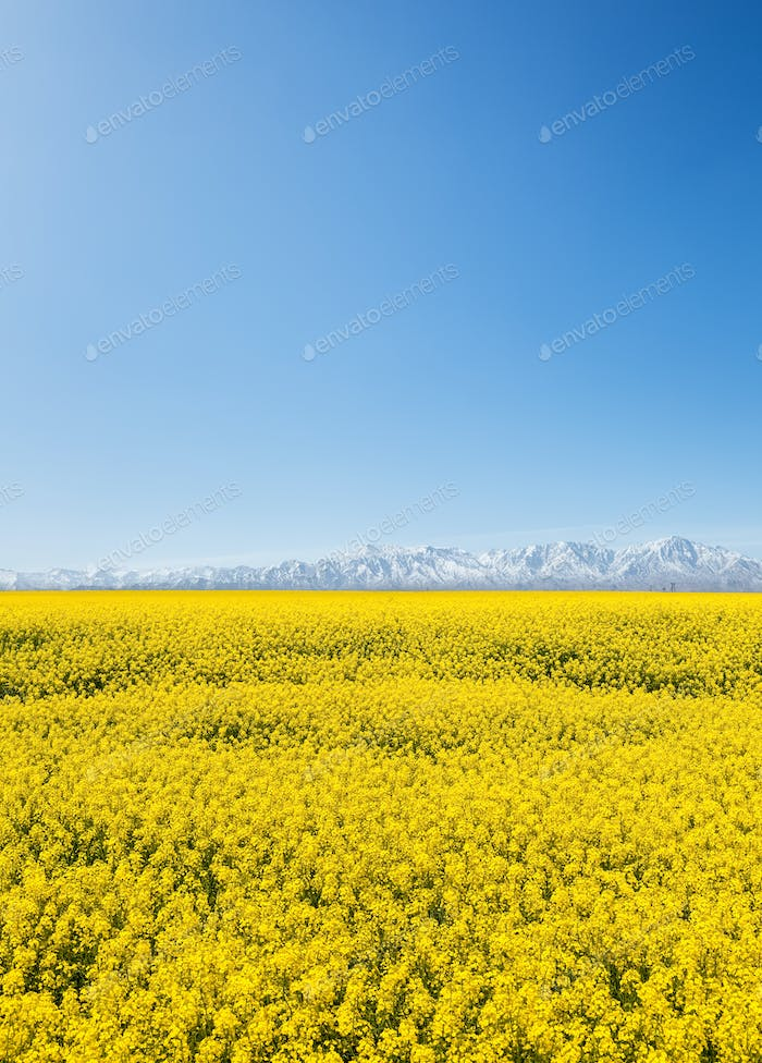 rapeseed flower field and snow mountain