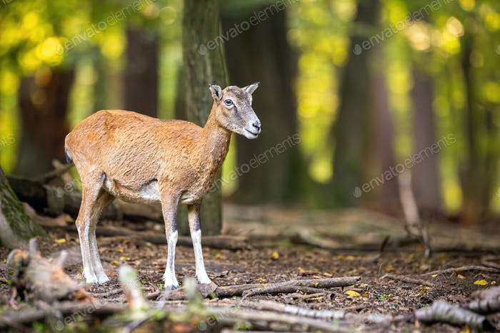 Female mouflon observing in forest in autumn nature