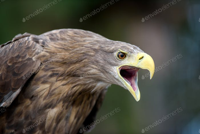 White-tailed eagle portrait  in forest