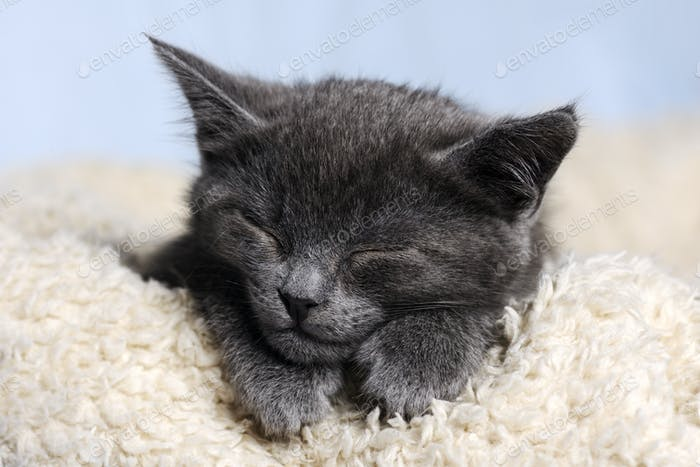 Cute grey sleeping kitten close up