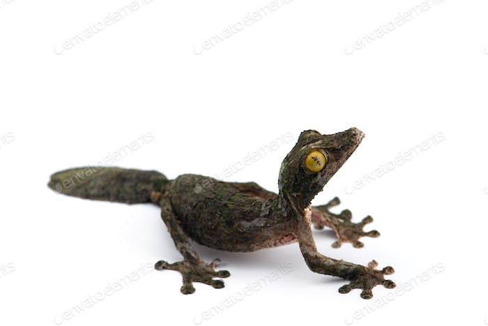 Mossy Leaf-tailed Gecko isolated on white bacground