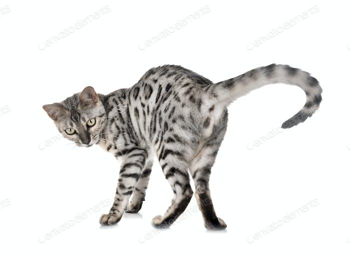 bengal cat in heat