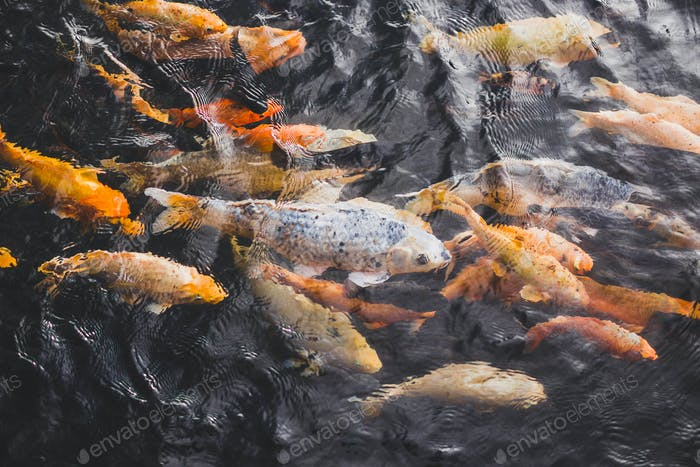 Many bright colorful gold fishes in pond water