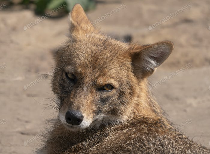 Golden Jackal In Nature Tracks Down Prey, Portrait.