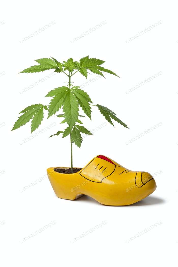 Marijuana plant in wooden shoe