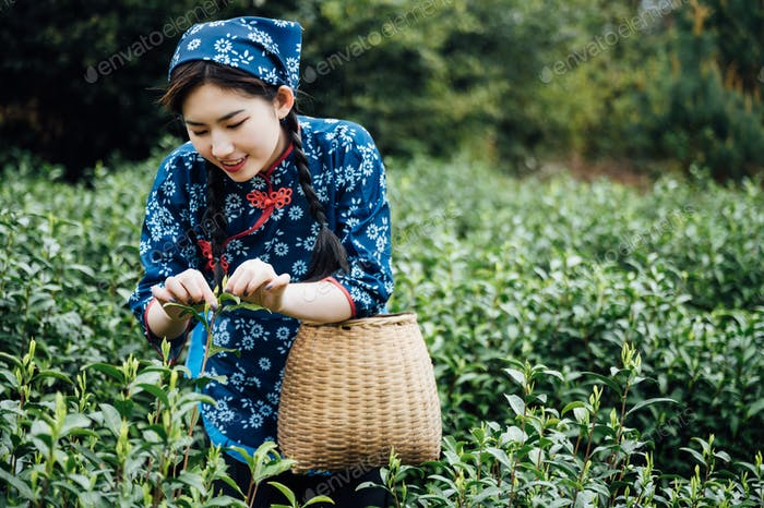 Chinese girl picking tea leaves