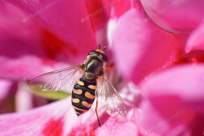 macro portrait of an eupeodes corollae insect resting on a geranium flower