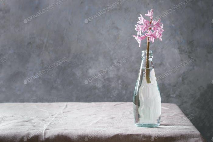 Spring pink hyacinth