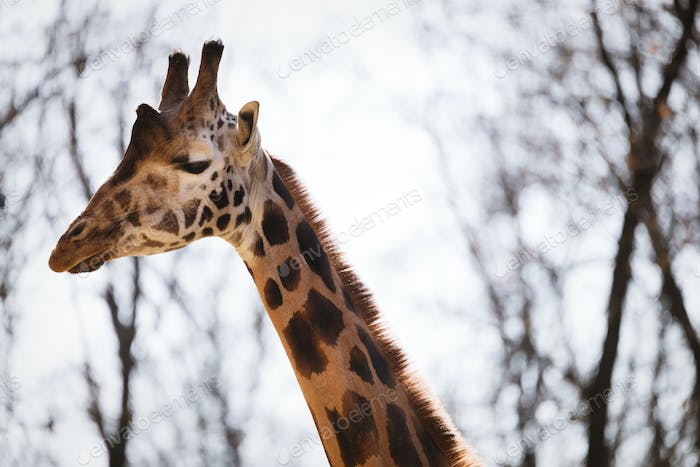 Beautiful giraffe head and neck
