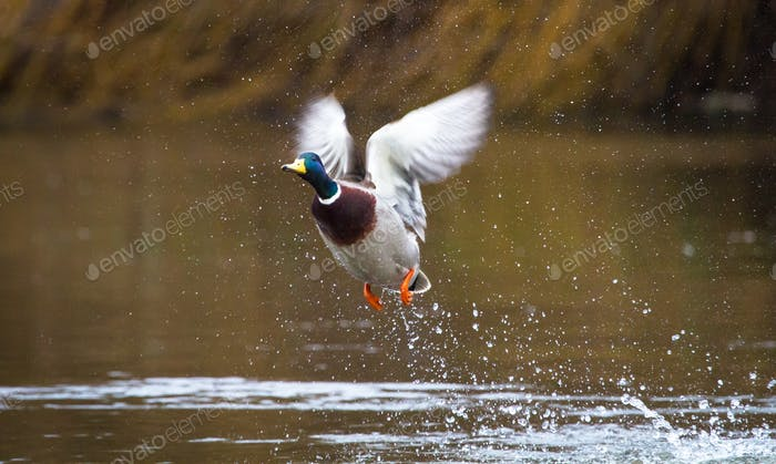 Mallard Duck in Flight in England