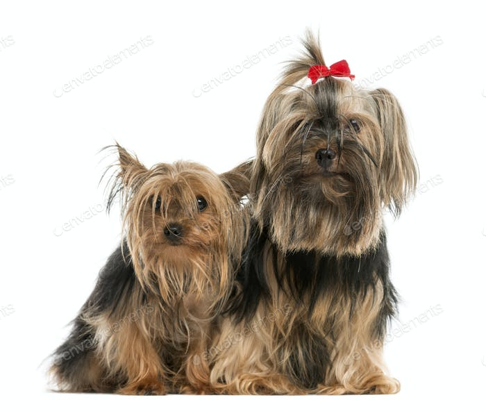 Two Yorkshire terriers sitting in front of a white background