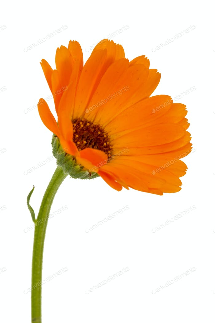 Flower of calendula, isolated on white background