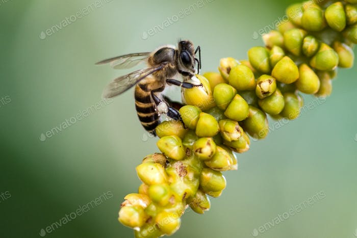 Working bee with sweet pollens